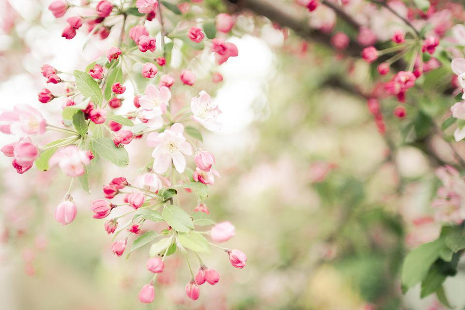 The Japanese Tree Flowers Spring Free Photo On Pixabay