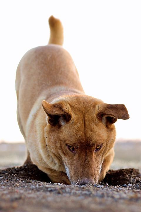 Dog, Digging, Hole, Canine, Retriever, Animal, Pet