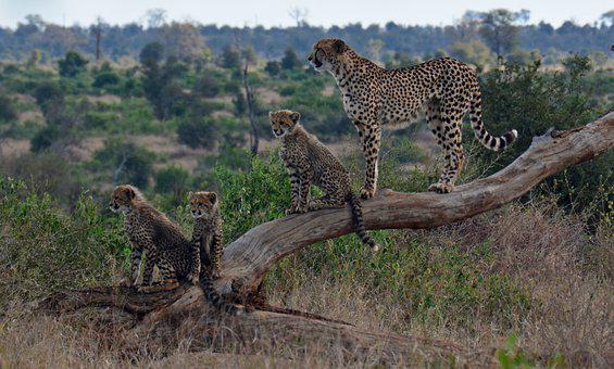 500+ Free Cheetah Pictures & Images in HD - Pixabay - Pixabay