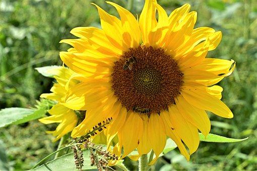 向日葵, 花, 夏, 黄色, 自然, 植物, フローラ, 美容室, 植物学