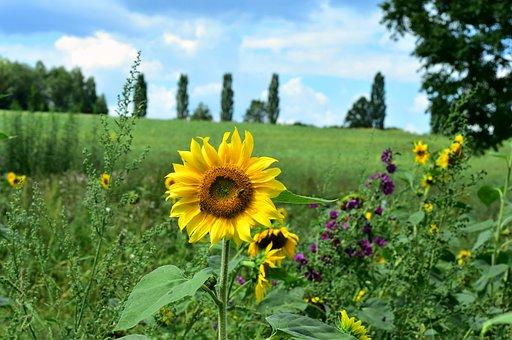 向日葵, 花, 夏, 黄色, 自然, 牧草地, 環境, 農村, 植物, フローラ