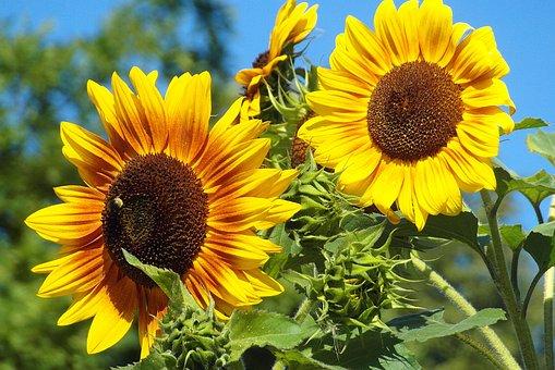 ひまわり, 庭, 黄色, 色, 晴れた, 花, 夏, ネイチャー, 花びら