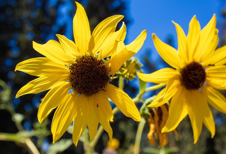 Bunga Matahari Liar Luar Foto Gratis Di Pixabay