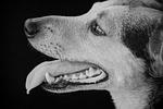 pies, hybrydowy, czarno-biały