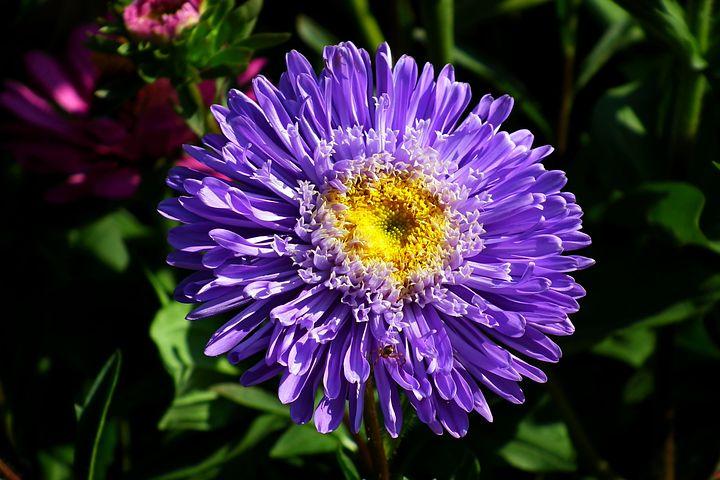 цветы астра контраст фото можно время поездки