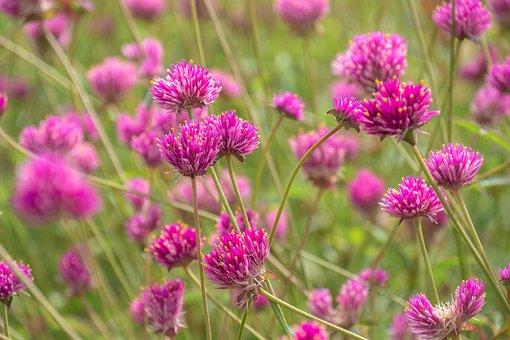 花, 牧草地, 花草原, ブルーム, アマランス