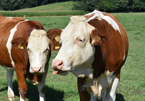 Cows, Pasture, Agriculture, Animal