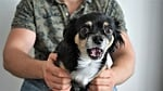 chihuahua, przestraszony, zdumiony