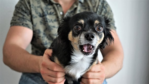 Chihuahua, Scared, Amazed, Funny, Small