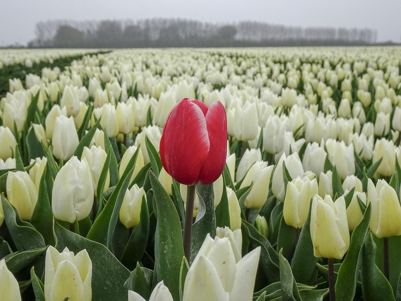 фото голландских тюльпанов тому