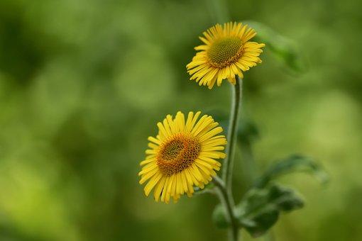 フリーハーブ, 大きなハーブフリー, 小さなハーブフリー, 花, ブルーム