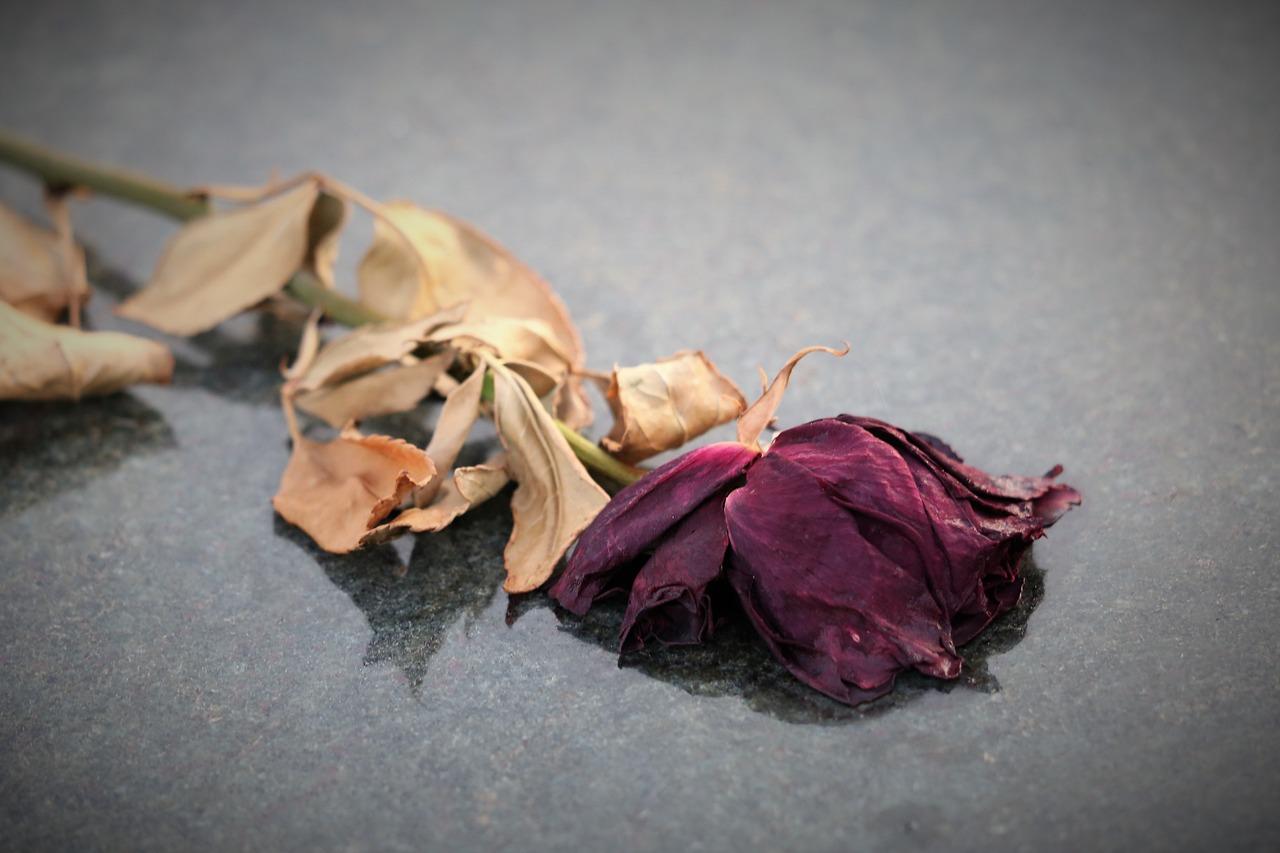 Роза вялая картинка