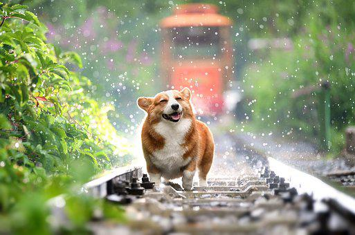 Dog, Corgi, Pets, Cute, Rain, Dog, Dog
