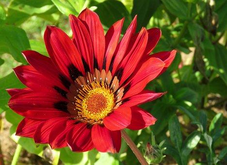 ガザニア, 花, 明るい, カラフルです, 自然, ブルーム, 赤, フローラ