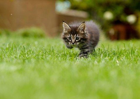 Katze, Tier, Zähmen, Feline, Muschi