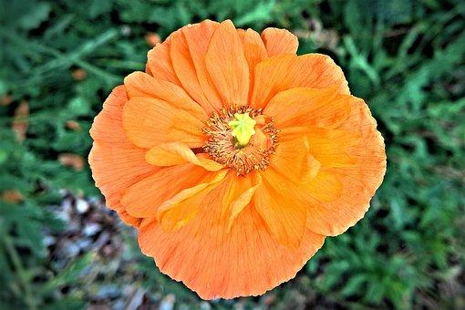 ポピー, 花, 野生植物, 夏, 黄色いポピー, 開花, 繊細な花びら, 明るい