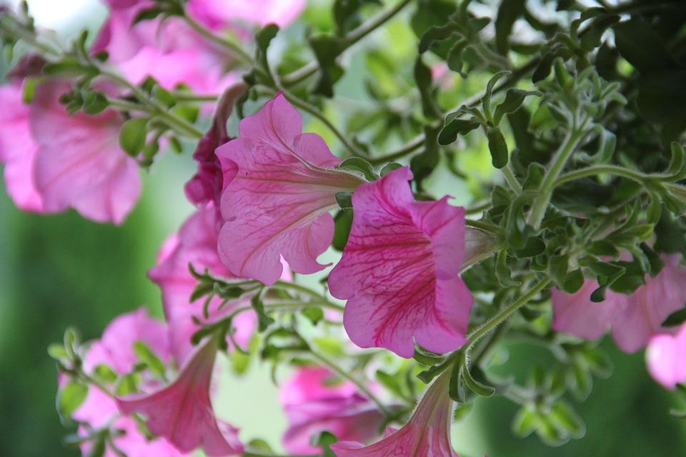 Surfinia, Kwiat, Ogród, Roślina, Fiolet