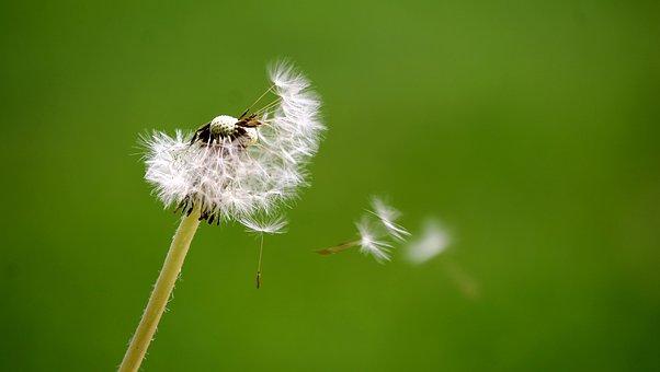 Одуванчик, Дыхание, Ветер, Цветок