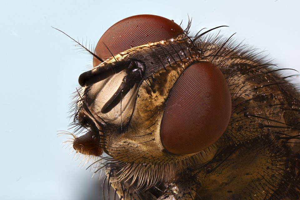 Fly, Insect, Invertebrates, Macro, Nature, Head