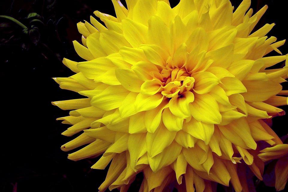 内射菊花图片