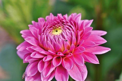 ダリア, Dahlias芽, 花, 芽, ダリアの庭, 園芸植物, 植物