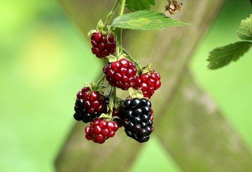 ブラックベリー, フルーツ, 赤, 成熟, Blackberryブッシュ, 夏