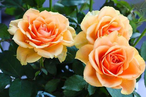 Roses, Fleurs, Orange