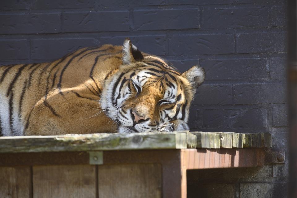 fotky velké kočičky