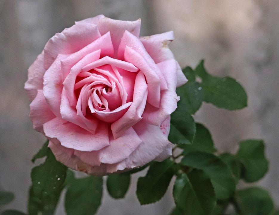 Rose Fleur Parfum - Photo gratuite sur Pixabay