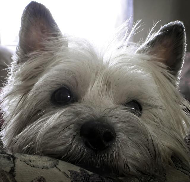 Cairn Terrier Hund Kæledyr - Gratis foto på Pixabay