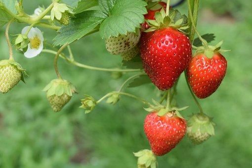 Nature, Strawberries, Plants, Crops