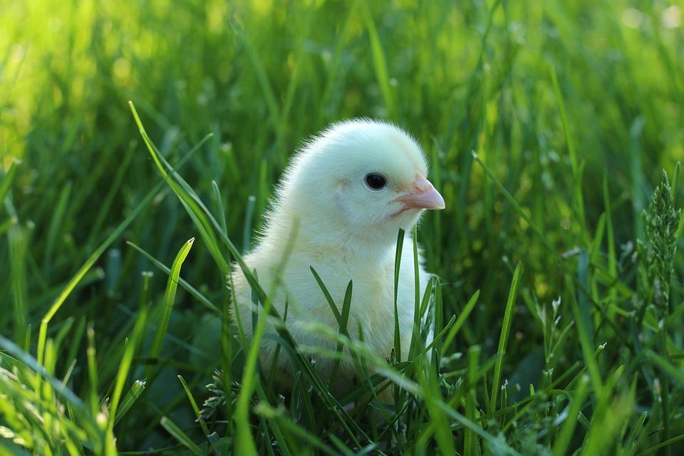 85 Gambar Ayam Lucu Paling Bagus