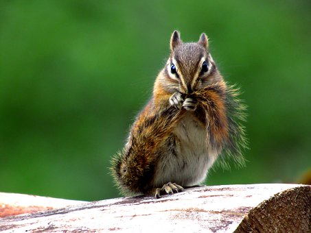 Chipmunk, Mammal, Animal, Rodent, Nature