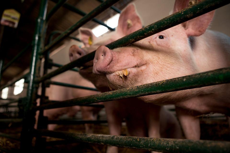 Essen, Schwein, Zucht, Käfig, Nase, Maulkorb, Zaun