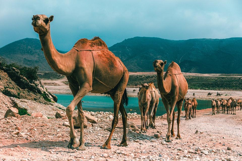 Oman, Salalah, Str, Camel, Encens, Arabie, Désert, Sec