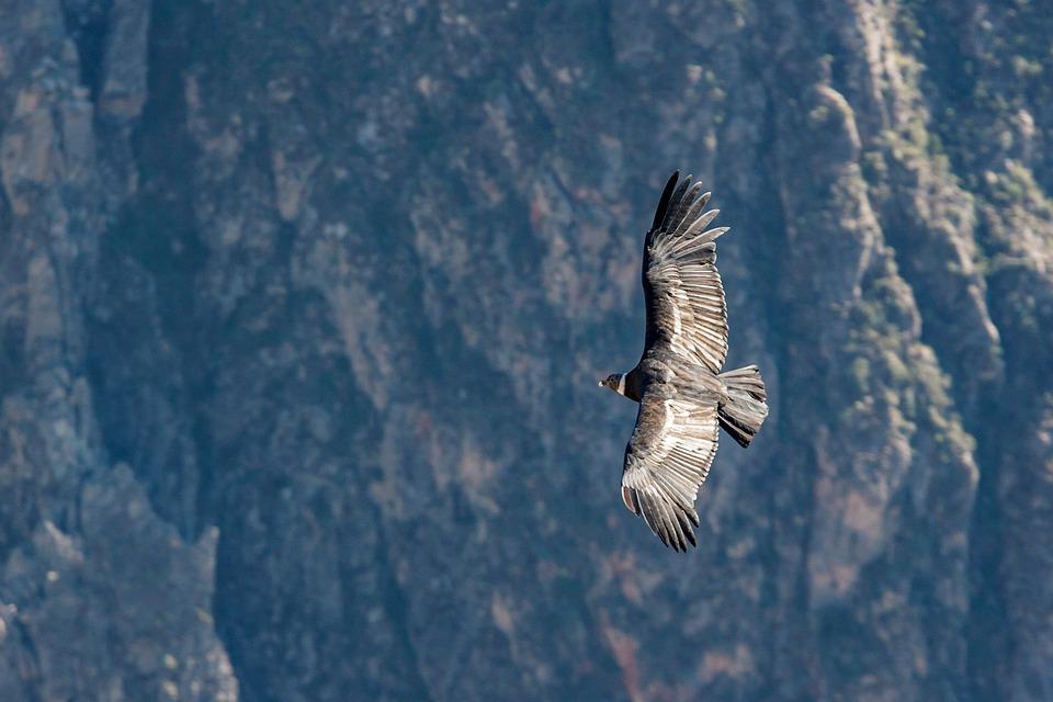 Kondor, Peru, Ptak, Z Góry, Raptor