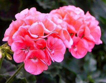 Géranium, Fleur, Rose, Fleurs, Nature