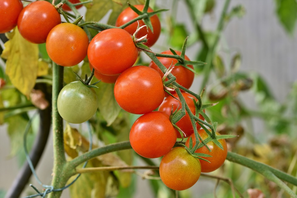 Tomaten, Rispentomate, Strauchtomaten, Tomatenrispe