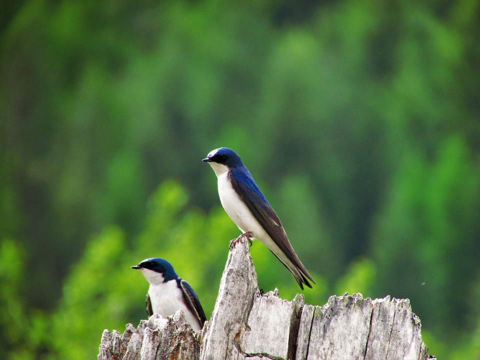 Tree Swallow, Swallow, Tree, Nest, Nature, Bird, Green