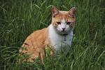 kot, rudy, wyrażenie