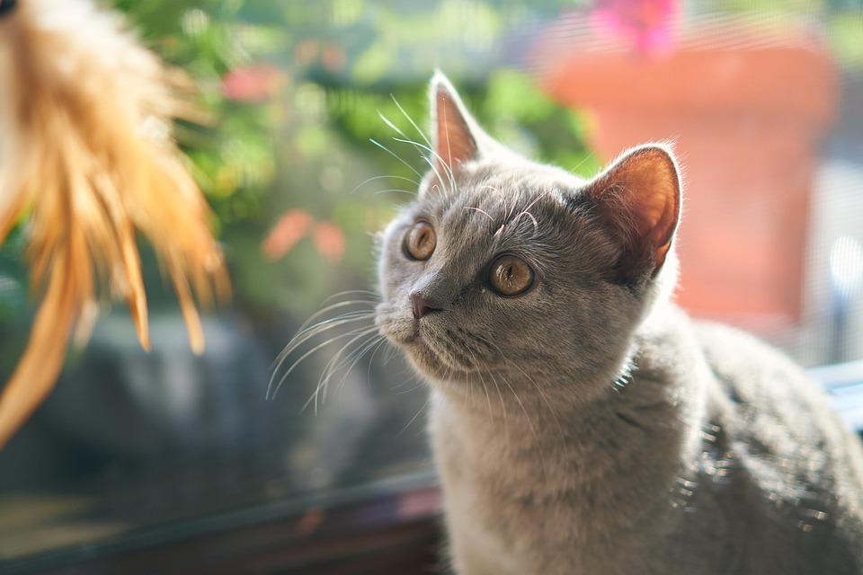 Kat, Huisdier, Cute, Dierlijke, Bont, Grijs
