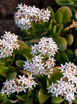 Jade Plant, Flowers, Crassula Ovata
