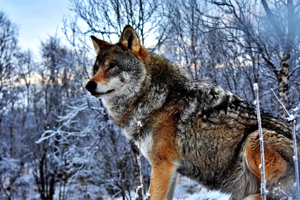Der neue § 45a BNatSchG erleichtert den Abschuss von Wölfen