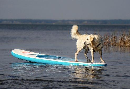 Golden Retriever, Dog, Pet, Animal