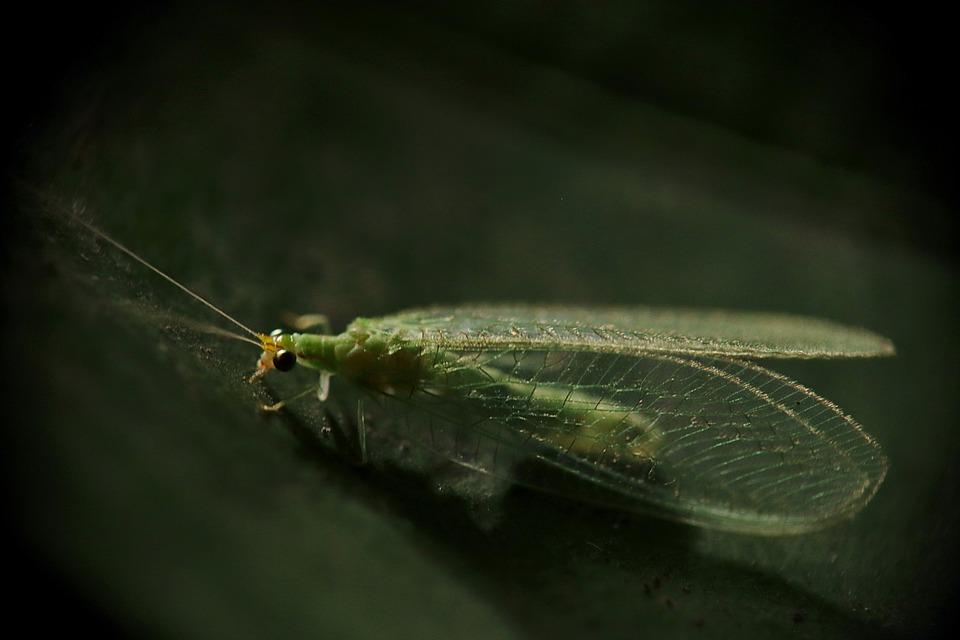 Insetos, Crisopa, Crisopa Verde, Crisópidos, Neuroptera