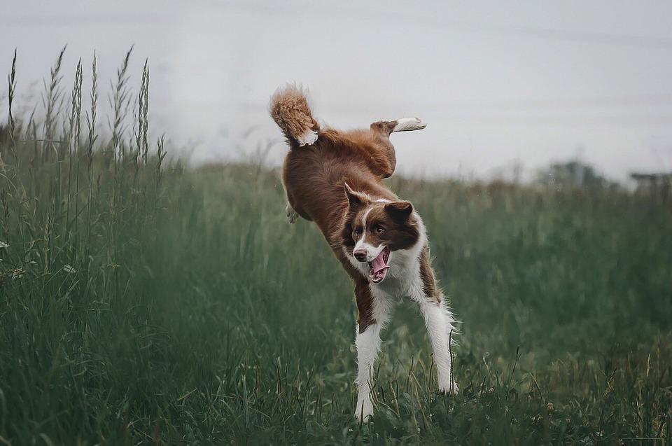 犬, ジャンプ, 草, ボーダーコリー, 自然, 跳躍