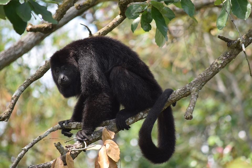 Belize, Czepiak Brązowy, Małpa