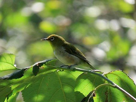 アニマル, 森林, 緑, 鳥, 野鳥, メジロ, 木漏れ日, 日本, 自然
