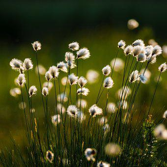 Cotton Grass, Flower, Plant, Swamp