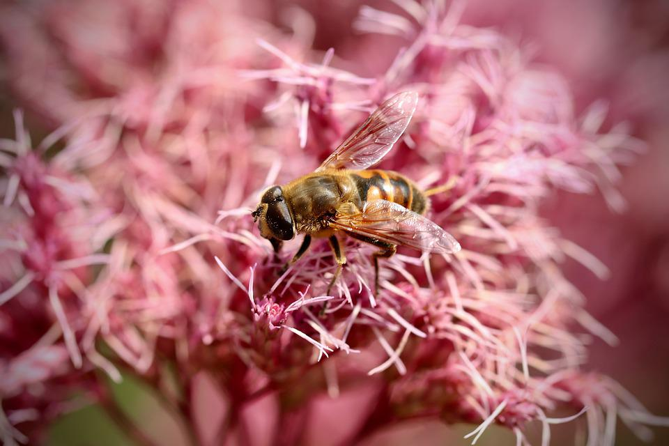Insect, Hoverfly, Bloom, Flowers, Pink, Water Hemp